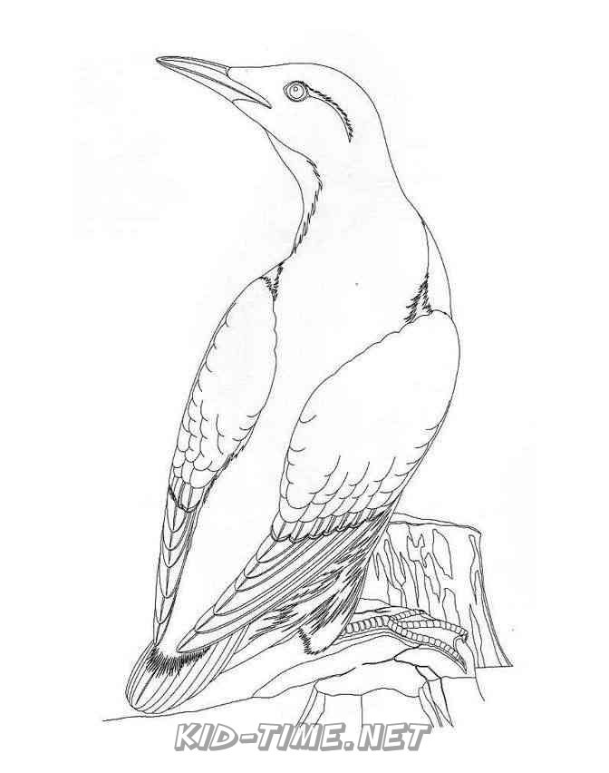 Birds Guillemot – Animals Coloring Book Pages Sheet – Kids Time Fun Places  To Visit And Free Coloring Book Pages Printables